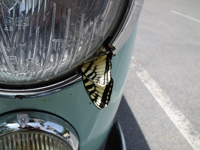 A butterfly meets its demise on the rally.